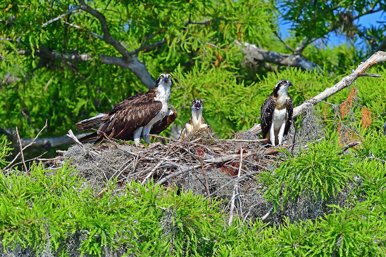 Osprey at nest with chicks
