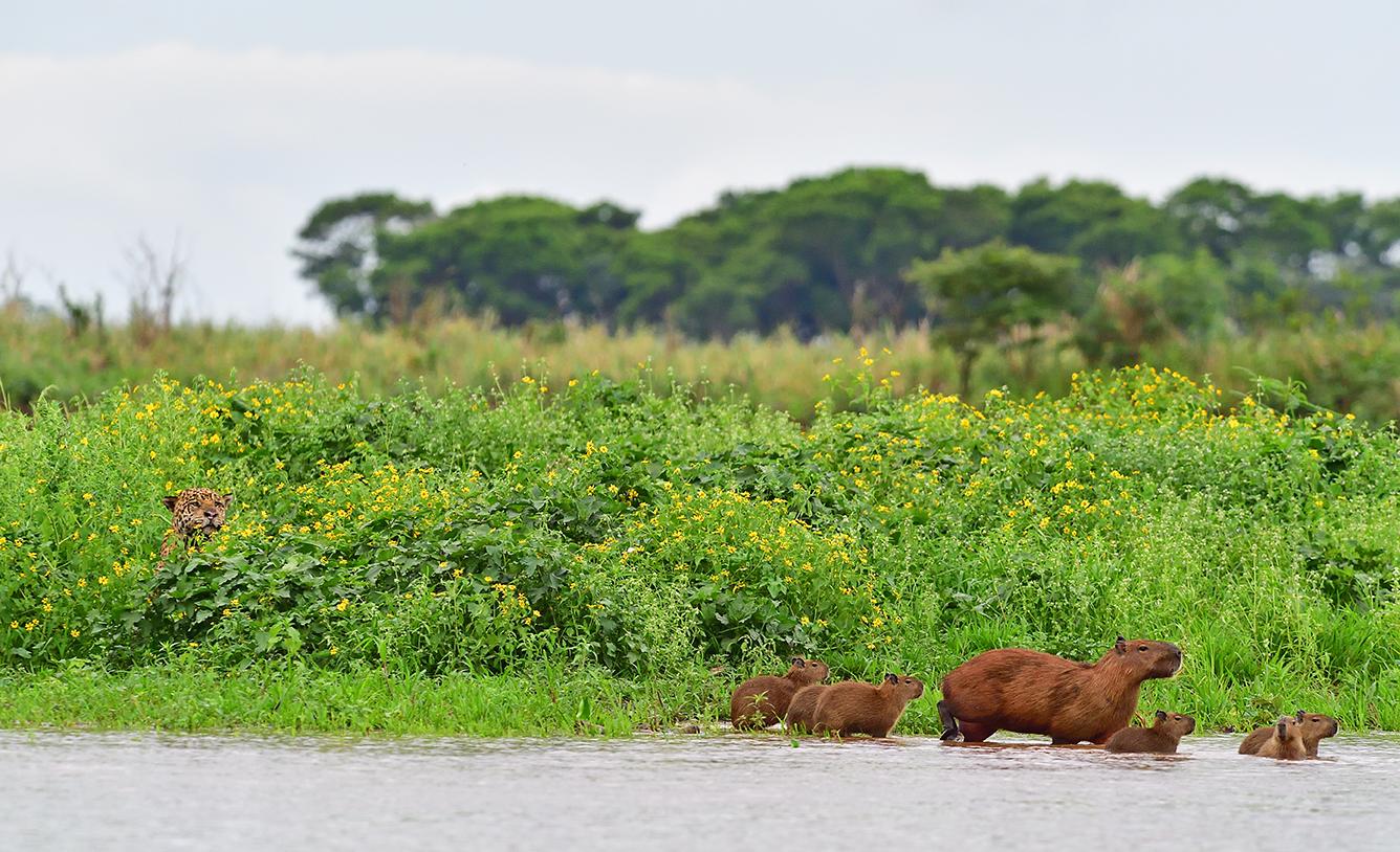 Jaguar chasing Capibara