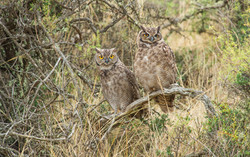 Magellanic great horned owl