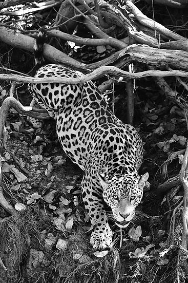 Jaguar approach