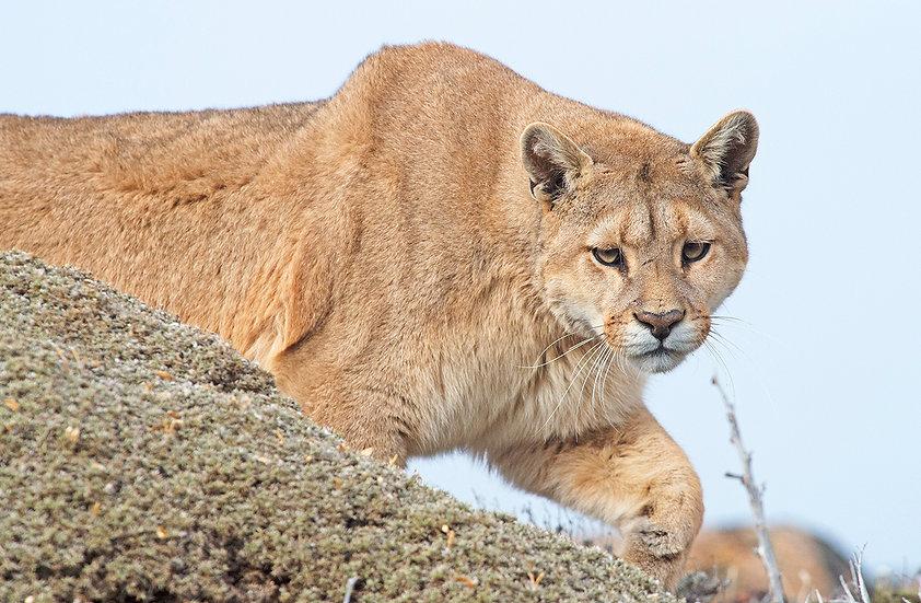 Puma in the wild2