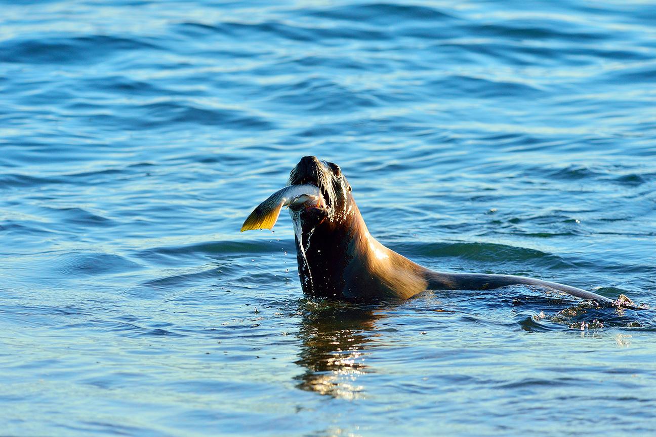 South American sea lion