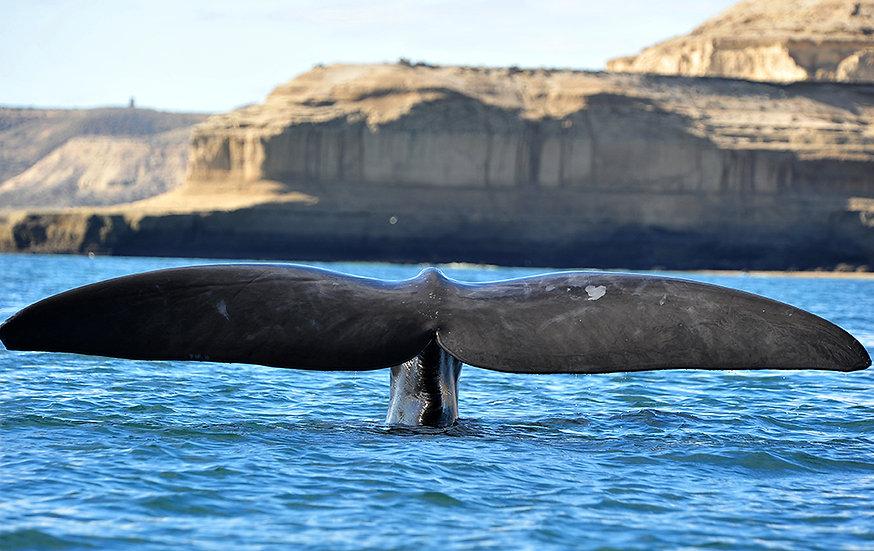 Whale Fluke II