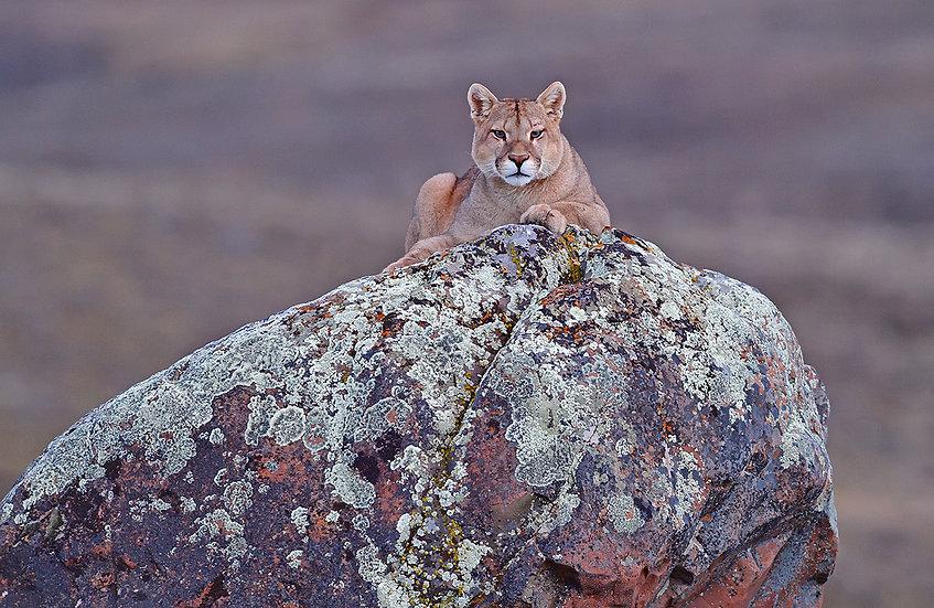 Curious puma