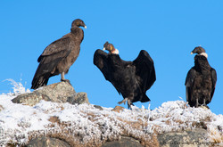 Adult male Andean Condor
