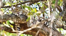 Jaguars in the wild, Pantanal safari 2016