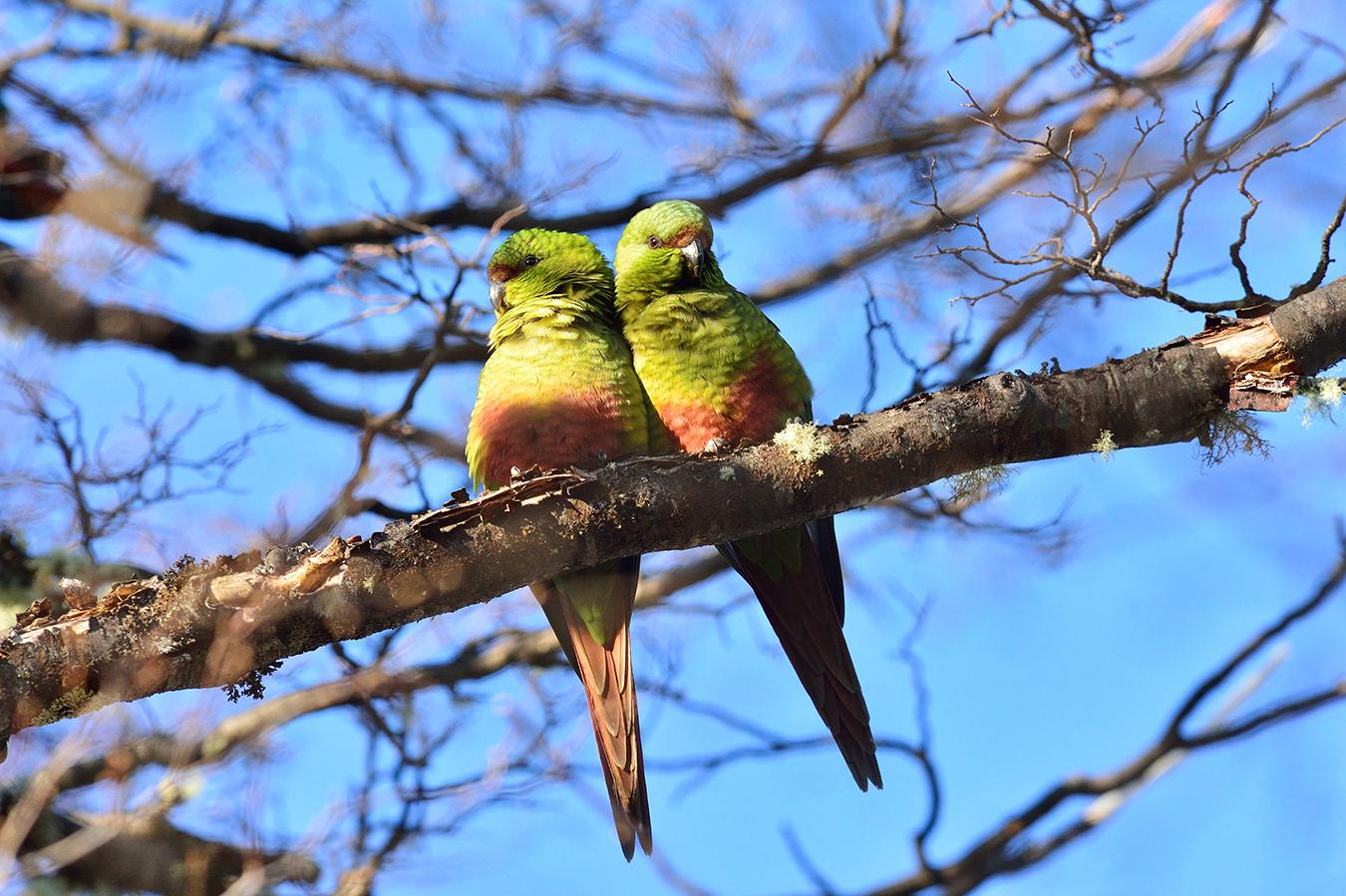 Cachaña Parrot