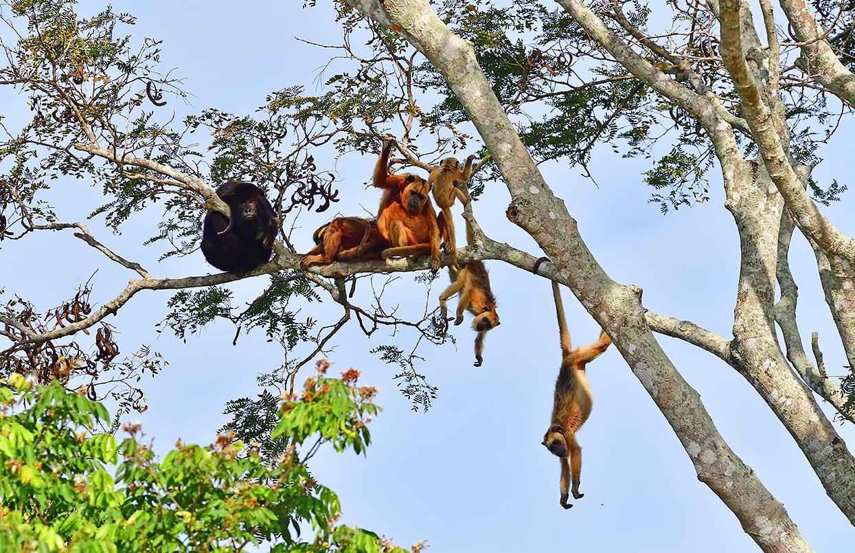 Howler Monkey Family