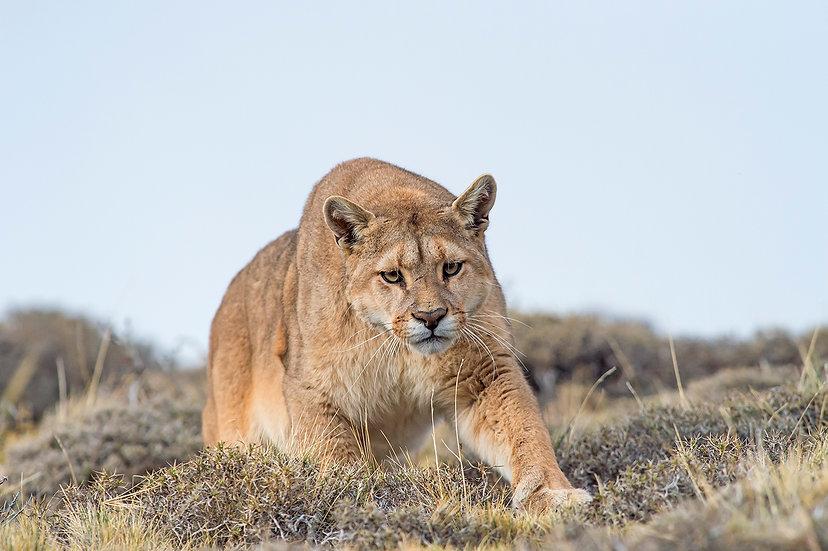 Puma in the wild1