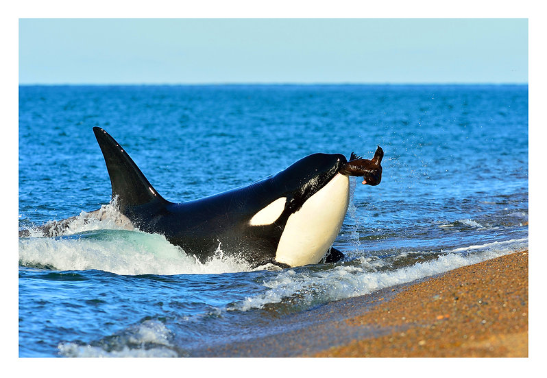 Orca Hunter