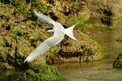 Southern Tern