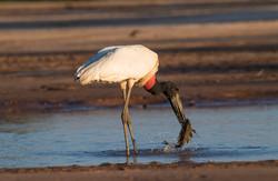 Jaribu Stork