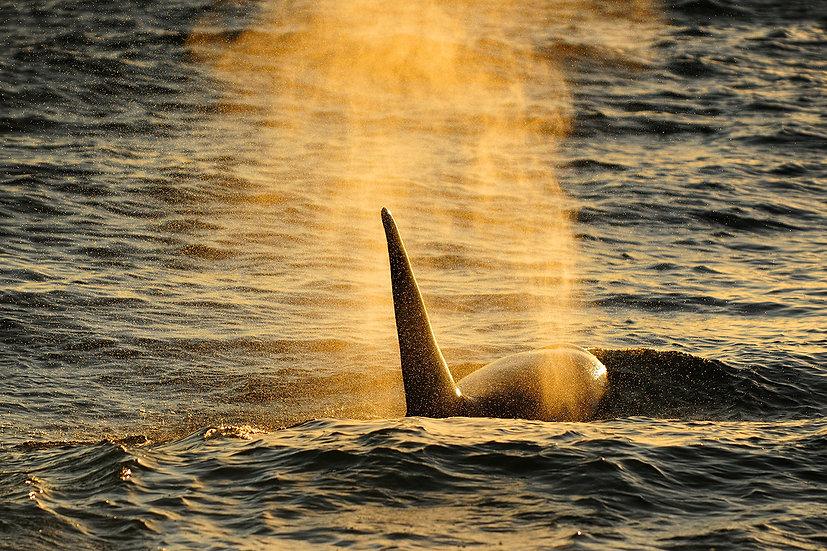 Orca blow