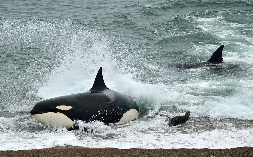 Orca stranding