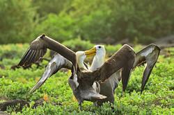 Galapagos Albatross