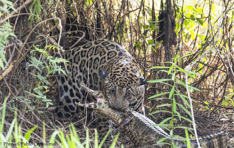 Jaguar hunting a cayman