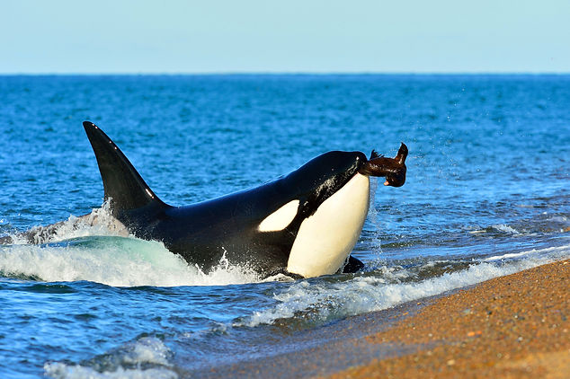 Orca, killer whale, photography safari trip, Peninsula Valdes, Patagonia, Argentina, South America