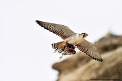 Austral Peregrine Falcon