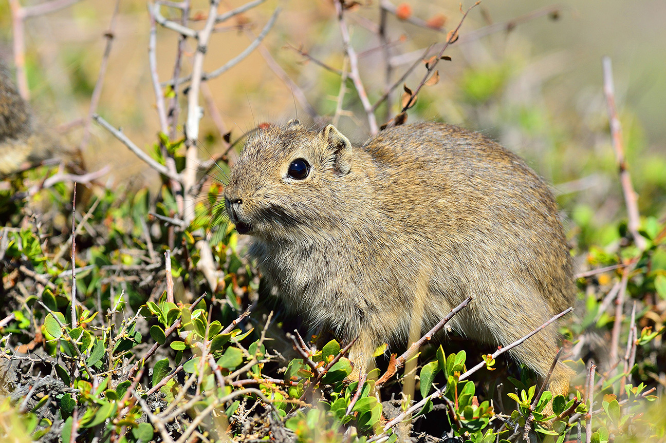 Small Patagonian Cavy