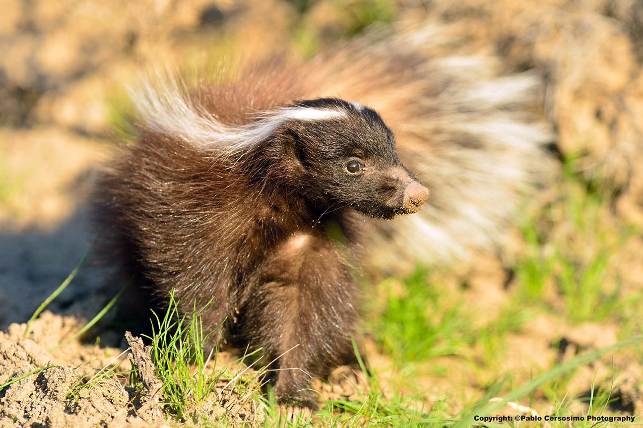 Humboldt's hog nosed skunk