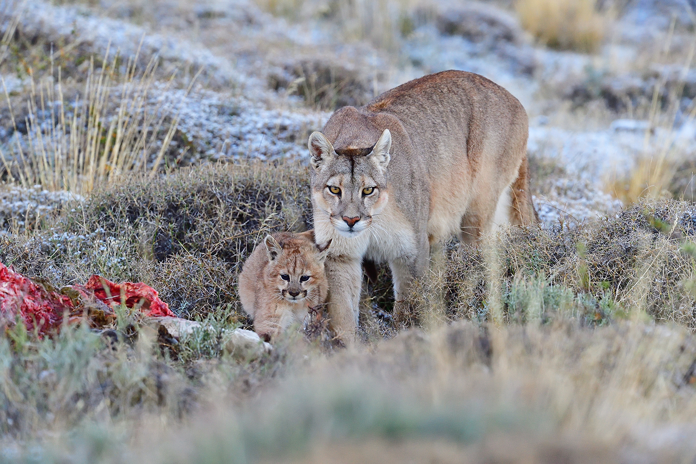 Puma with cubs