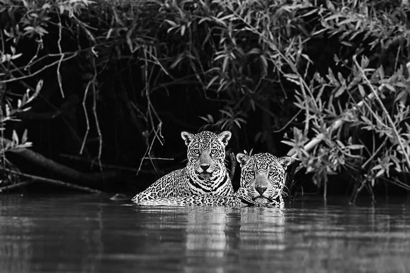 Jaguar couple