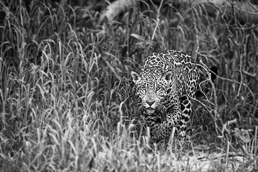 Jaguar approach2