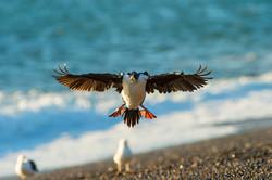 Imperial Cormorant