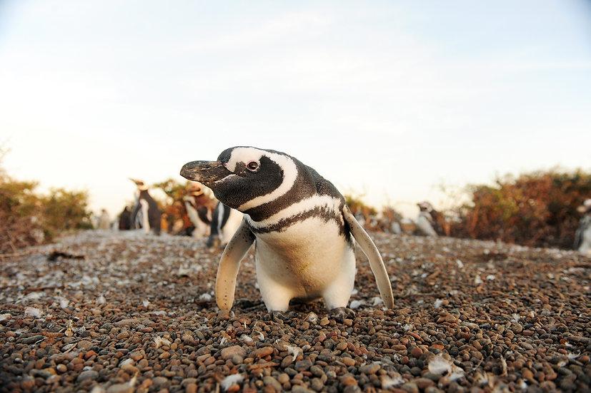 Magelanic Penguin