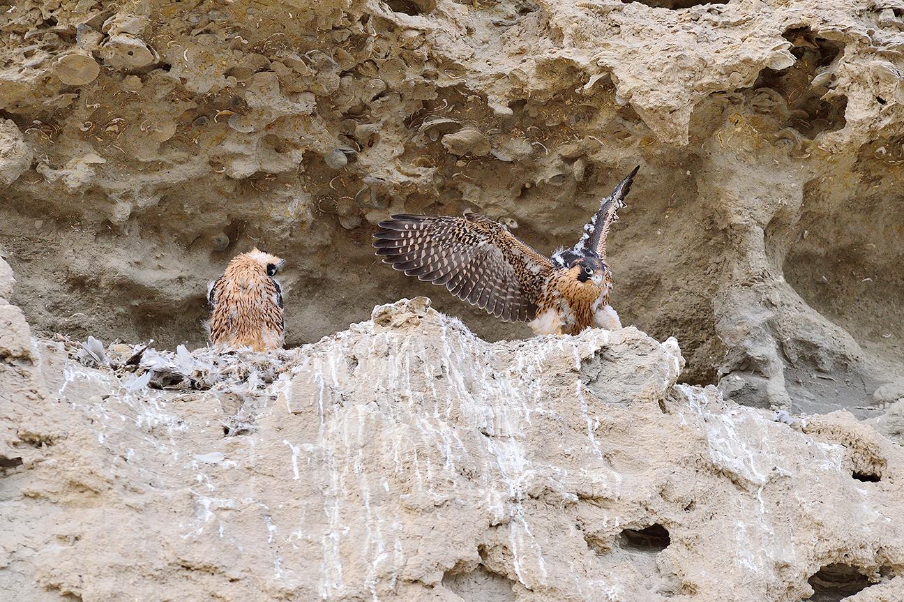 Perigrine Falcons
