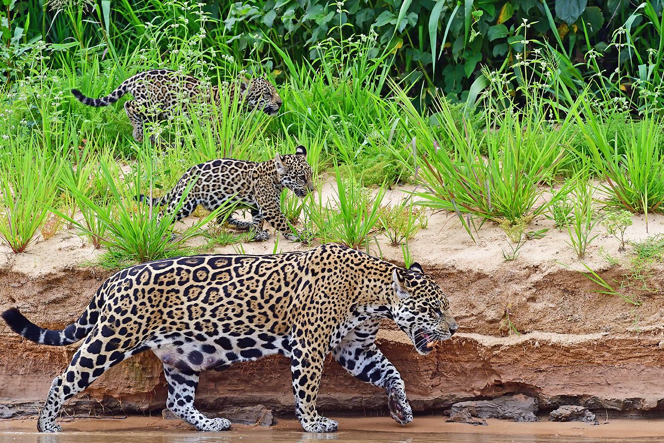 Jaguar with cubs