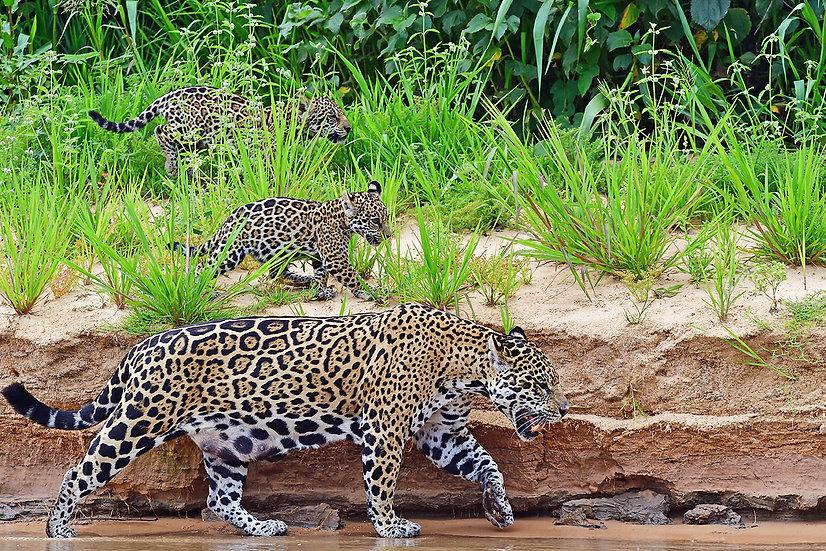 Mother jaguar