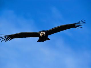 Soaring Condors