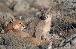 Puma mother with cubs
