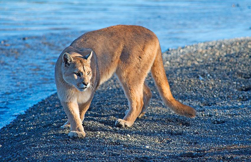 Puma in the wild3