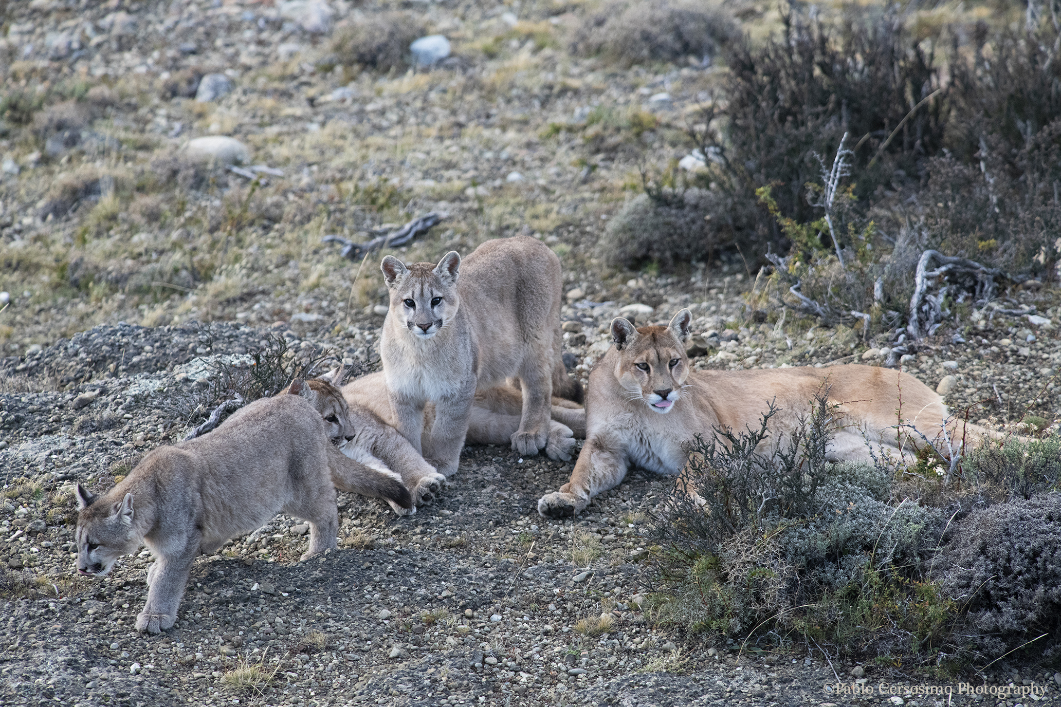 Puma female with her cubs