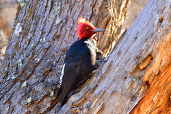 Giant Magellanic Woodpecker