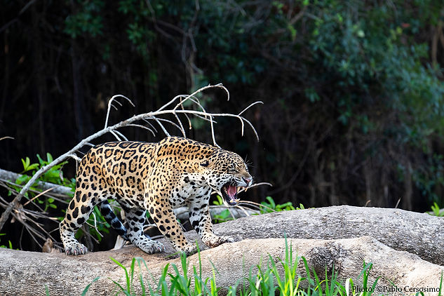 Jaguar, Panthera Onca, Pantanal, Brazil, South America