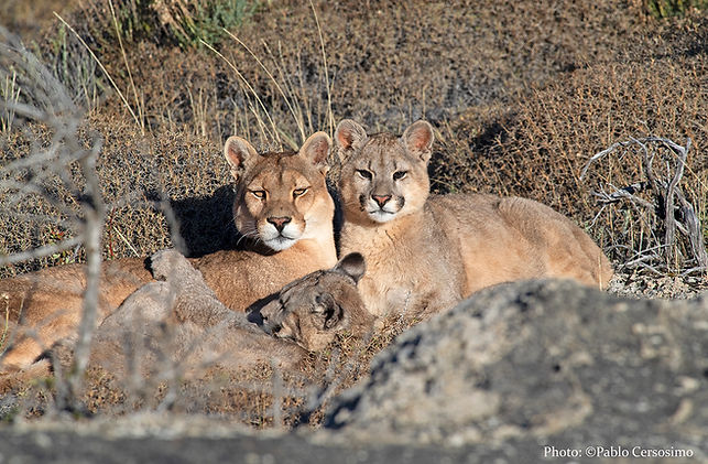 Puma concolor, Mountain Lion, Pataonia, South America, photography safari trips