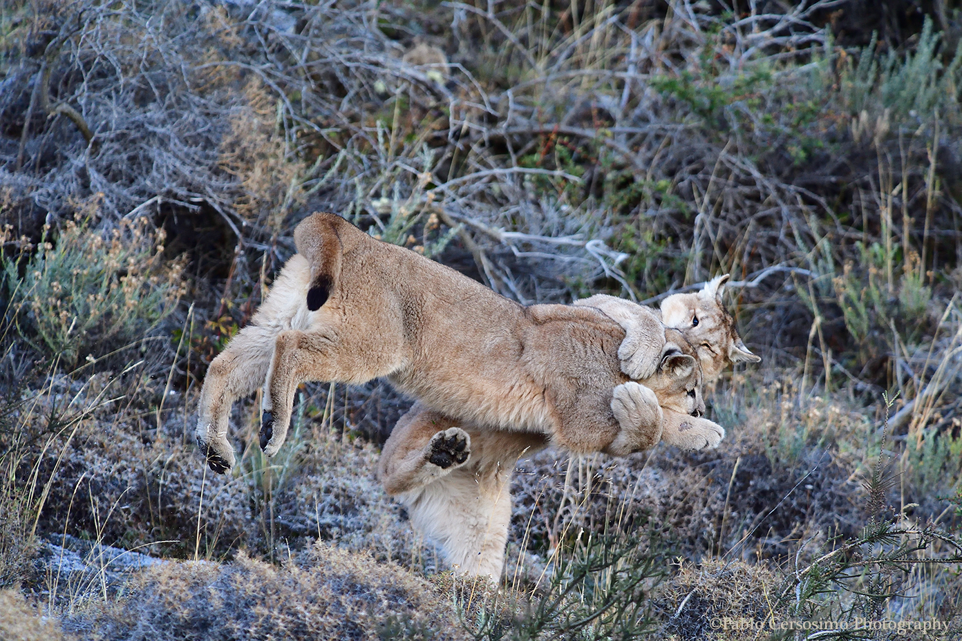Puma cubs playing