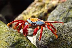 Zayapa Crab
