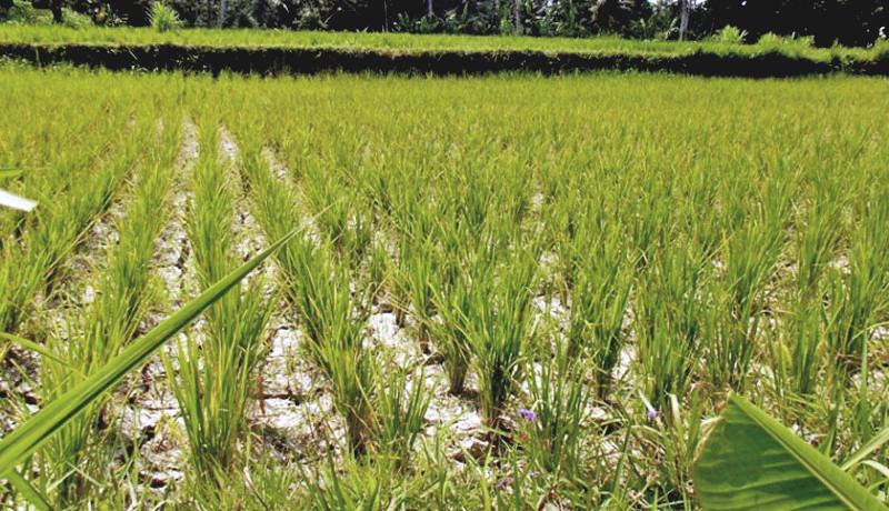 hektaran-padi-terancam-gagal-panen-akibat-kekering-800-2015-10-07-021622_0