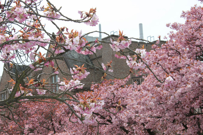 Cherry Blossoms at the University of Washington | Our Annual Visit