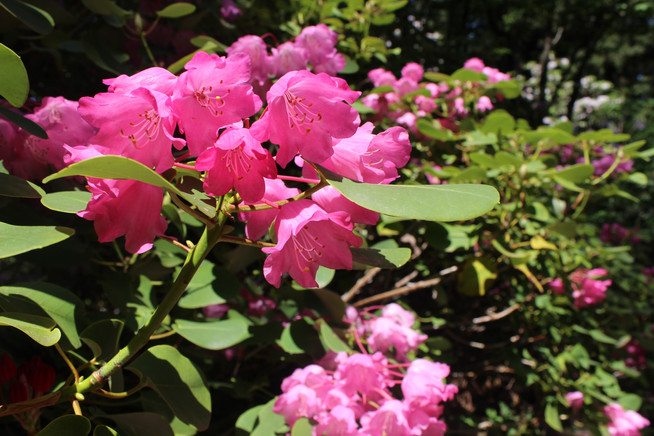 A Visit to the Rhododendron Species Botanical Garden