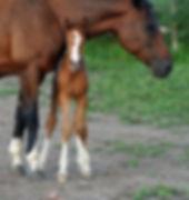 Irish Sporthorse Filly Rosheen
