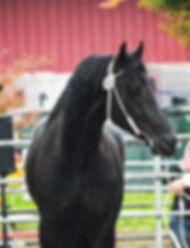 Purebred Black Friesian Stallion Martzen