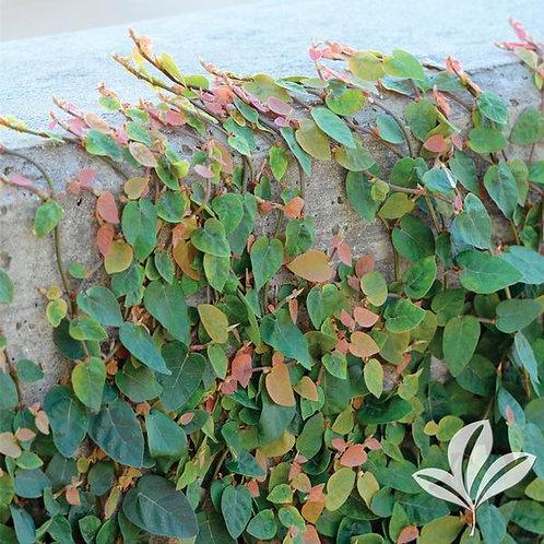 Ficus Pumilia, Creeping Fig 1G