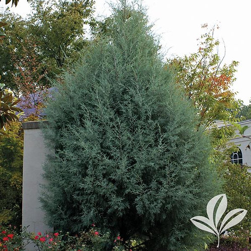 Cypress, Carolina Sapphire 7G