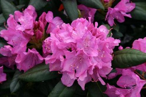 Rhododendron, Roseum Elegans (multiple sizes)