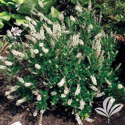 Clethra Alnifolia, 'Hummingbird' 3G